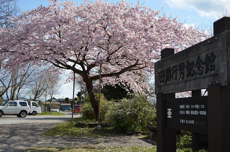 百楽桜満開