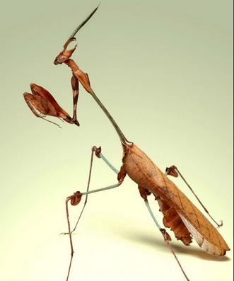 バイオリンカマキリ