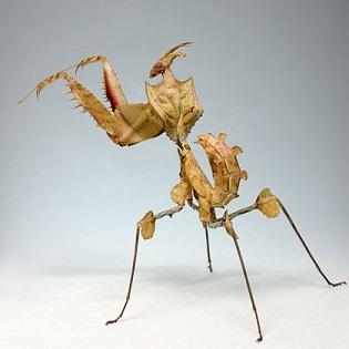 ニセハナマオウカマキリ幼虫