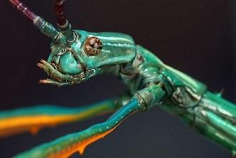 Achrioptera fallax