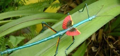 Achrioptera fallax(ブルーナナフシ92