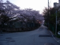 170415大津側の疎水横の桜