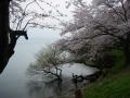 170415長命寺からの湖岸のアップダウン手前の桜