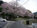 170415山科側、寂光寺横の桜