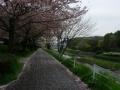 170415山科川沿いの自歩道を下っていく