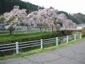 170422まだ花の残る多羅尾の桜