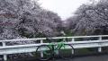 170408玉川を挟んでの桜並木