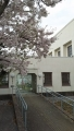 170415渡り廊下と桜