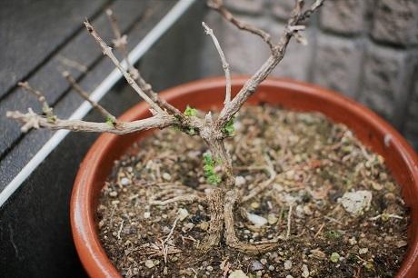 20170422ランタナ鉢植え