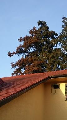 狭山の杉の木