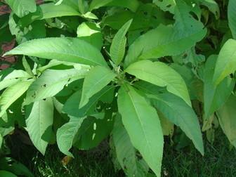 Nard leaf