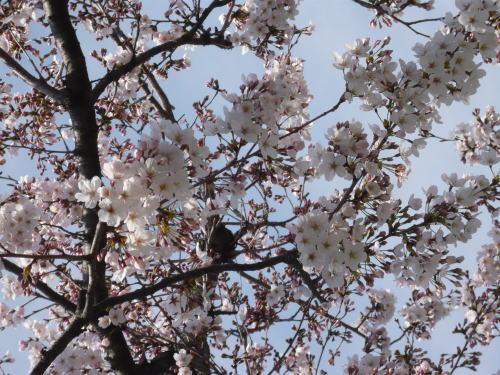 ブログ0408桜