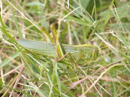Giant Grasshopper 1
