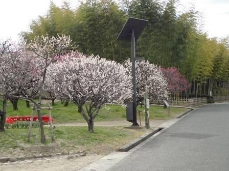 万博公園梅林①