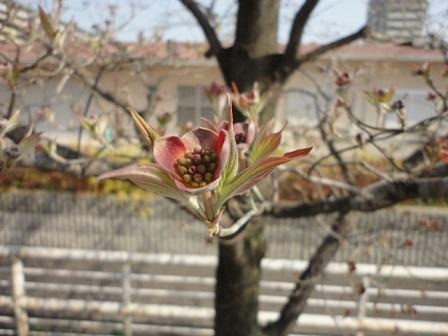 赤の花水木の新芽