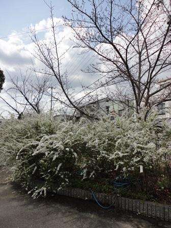 ユキヤナギと桜の木