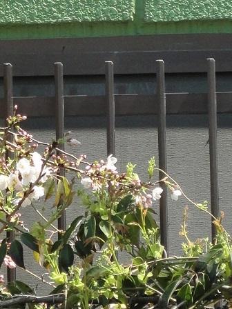うちの桜①