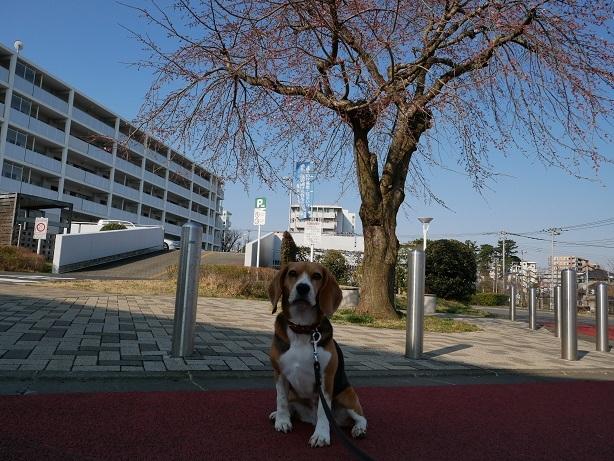 P1130375桜