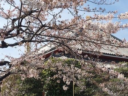 201704sensoji-sakura.jpg
