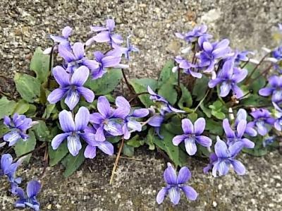 スミレの花咲くころ