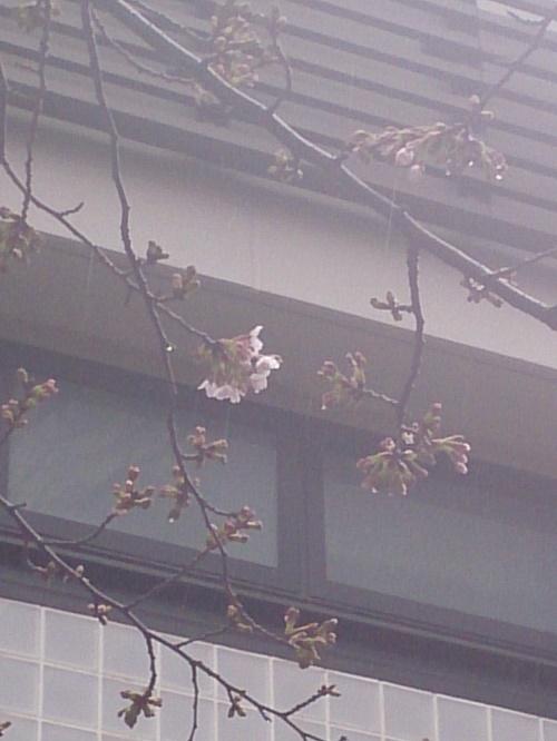公園桜120170321