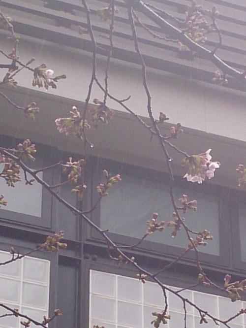 公園桜220170321