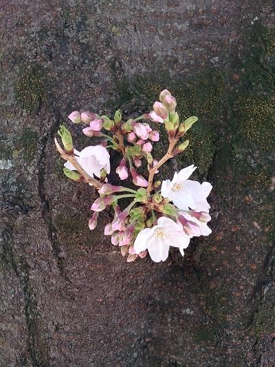 公園桜320170322