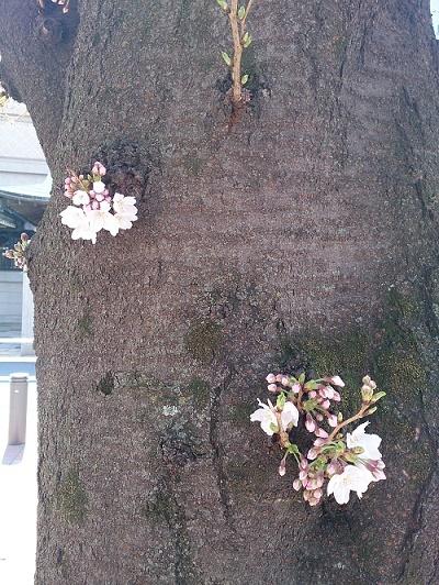 公園桜420170322
