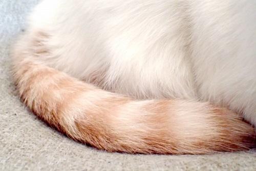 猫のしっぽの画像