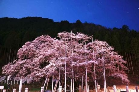 20170410淡墨桜ライトアップ