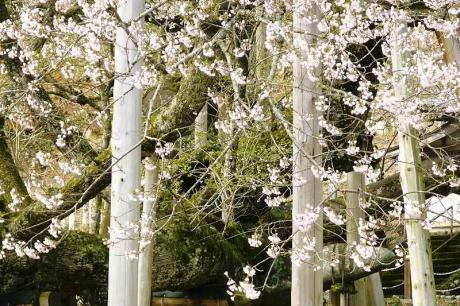 2017412淡墨桜