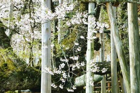 22017414淡墨桜