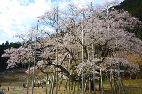 2017414淡墨桜