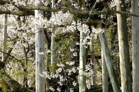 220170414淡墨桜