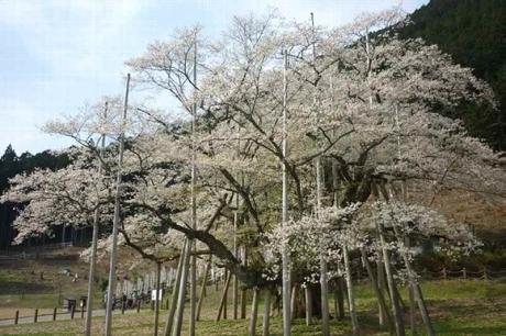 2017417淡墨桜