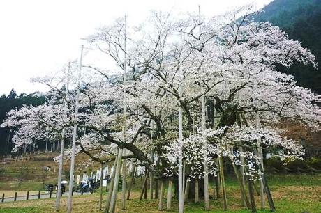 20170415淡墨桜