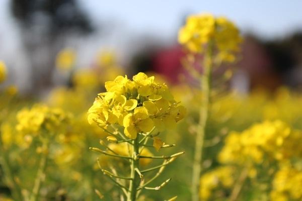 047菜の花