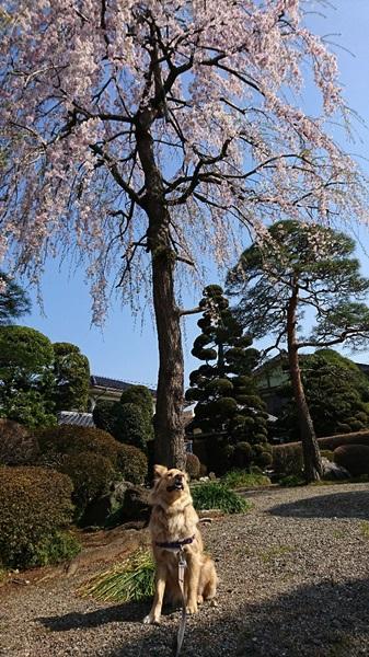 DSC_0284桜