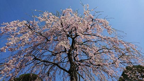 DSC_0282桜