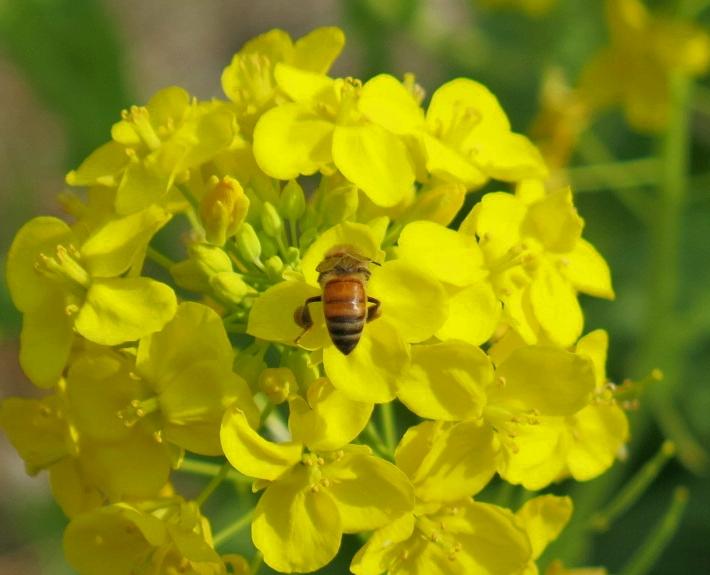 菜の花 2017 2 22   花とアブ 2 8005