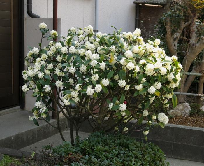 ジンチョウゲ 2017 3 29 全景 玄関 1 小さな花の山 8223