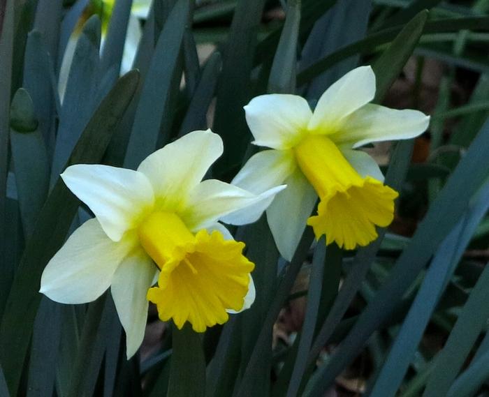 ラッパズイセン 2017 4 3 花二つ 1 小さな花の山 8334