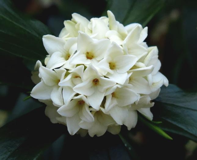 ジンチョウゲ 2017 3 29 白花 1 小さな花の山 8207