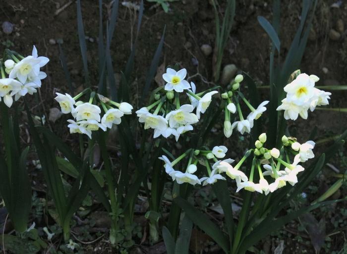 ラッパズイセン 2017 4 3 花 群れ 1 小さな花の山 8316