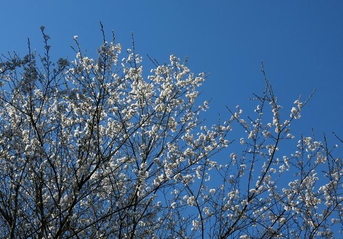 ウスズミザクラ 2017 4 3 花 1 小さな花の山 8285