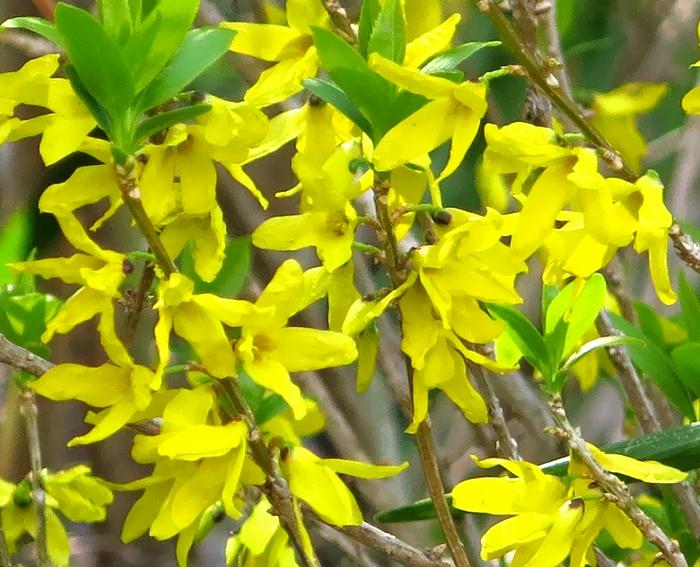 レンギョウ 2017 4 3 花 1 小さな花の山 8336