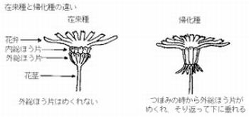 セイヨウタンポポ 総苞片