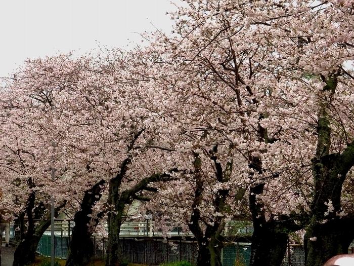 桜 2017 4 9 長坂堤 1 700 8514