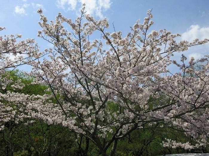 サクラ 2017 4 12 1 佐鳴湖西岸 700 8523