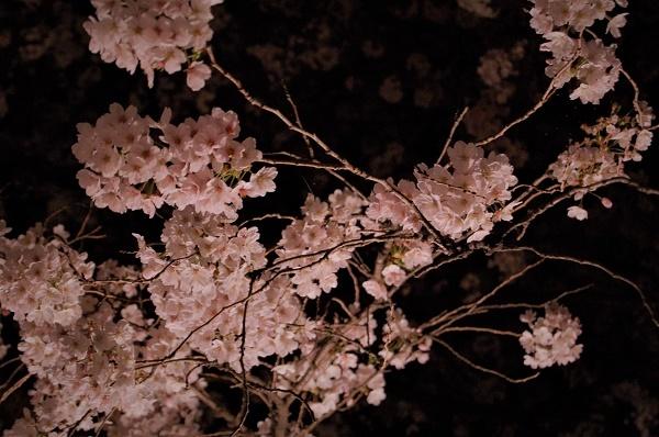 夜桜002